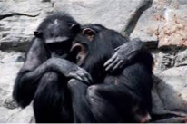 chimp_cwtch